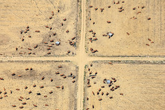 Crossroads With Cattle (Aerial Photography) Tags: prt 29072007 5d023770 alentejo ausland braun districtbeja facho farbe feld feldweg fotoklausleidorfwwwleidorfde freilandtierhaltung grafik kreuz kreuzung landscapeandnature landschaft landschaftnatur landwirtschaft luftaufnahme luftbild p2 portugal rindvieh serpa tier trockenheit viehzucht vilanovadesãobentoevaledevargo aerial agriculture animal brown cattle color colour cross crossing drought dryness field foreigncountries graphicart graphics landscape landscapenature livestockfarming nature outdoor vilanovadesãobentoevaled