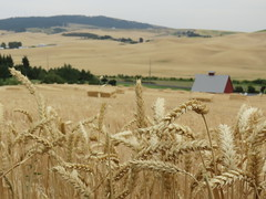 Wheat and the Palouse (bencbright) Tags: moscow idaho arboretum latah summer late canonsx60 canon superzoom landscape palouse wheat field agriculture