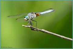 Blue Dasher Dragonfly 4043 (maguire33@verizon.net) Tags: losangelescountyarboretum dragonfly wildlife arcadia california unitedstatesofamerica bluedasher