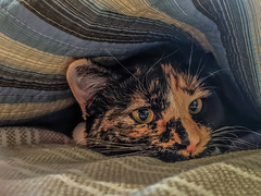 Ha'anit Undercover (jolynne_martinez) Tags: cat pet calico bed nap napping blankets comforter blanket googlepixel