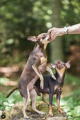 Moment de gâterie (Philippe Bélaz) Tags: nestor ooligan pragois ratierdeprague animauxdecompagnie bois brun chiens chocolat debout forêts gâteries vert été