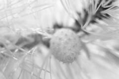 South Chatham (Isodopoulos) Tags: cape cod ma mass massachusetts chatham pine black white bw bnw ir infrared nikon dslr d80 manual focus jena pancolar 50 18 dof bokeh summer m42