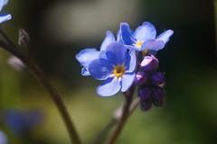 Myosotis    Angénieux 100mm F 3.5 (情事針寸II) Tags: flower macro nature bokeh forgetmenot triplet 勿忘草 oldlens angénieux100mmf35 macrodreams