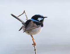 Superb Fairy-wren (christinaport) Tags: superbfairywren fairywren nsw australia bird birds wild free blue superb
