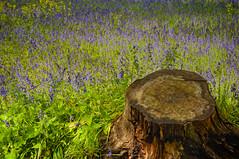 The Stump (MrBlueSky* Back In The New Year) Tags: stump tree bluebells garden horticulture nature outdoor colour kewgardens royalbotanicgardens london pentax pentaxart pentaxlife pentaxawards pentaxflickraward aficionados