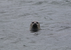 I can see you (jpotto) Tags: uk scotland shetland animal seal commonseal harbourseal