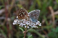 Bläulinge (Hugo von Schreck) Tags: hugovonschreck butterfly schmetterling bläuling macro makro insect insekt canoneosm50 tamronsp90mmf28divcusdmacro11f01