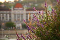 Purple Flowers (fentonphotography) Tags: budapest hungary flowers purple blooms blossoms gellert vacation travelaroundtheworld travelphotography