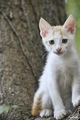 Cute kitten on a tree (Praveen Banneka) Tags: cat cute kitten white yellow green brown srilanka asia southasia pink nails tail eyes sad tree mango happy