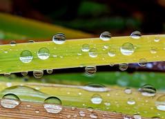 rain drops (majka44) Tags: rain drops green yellow grass nature light reflection nice macro macroword 2018