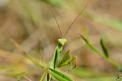 Mante religieuse (Instant_T) Tags: mantereligieuse mante mantidae mantisreligiosa mantis insecte insectes insect inscete été lorraine en macro macrophoto macrophotographie macroinsect macroinsecte vert wildphotography wild