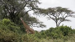 Masai giraffe (DC P) Tags: masai giraffe nairobi national park kenya game dirve africa safari wild wildlife animal animals nature beautiful big 5 five adventure a7rii angle dof explore fantastic gold hdr landscape landschaft ngc natur outdoor outside outdoors panorama pov serene travel trekking view world mystic holiday naturephotography trending new