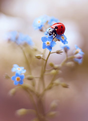 Forget-me-not😍 (ElenAndreeva) Tags: ladybug closeup flowers beauty plant color light natural garden background flower blue sky spring sun bug summer tree insect ladybird andreeva nature macro bokeh focus canon colorful sunny blossom