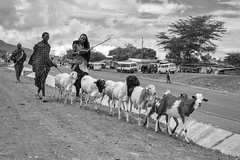World In My Eyes (u c c r o w) Tags: arusha tanzania tanzanian people africa african animal sheep goat herd herdsman urban city portrait siyahvebeyaz blackandwhite maasai
