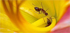 Going deep for nectar (Small Creatures) Tags: macro insect ant daylily manualfocus anamorphic reversing d60 cinemascope cimko reversemounting isco nikond60 norwichvermont iscorama nikkorh85mm anamorphicmacro anamorphiccloseup iscogottingen blossom nectar foraging lensstacking two twins pair formicidae nature yellow flowers nikkor pink color