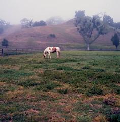 Morning graze (Film3688) Tags: 6x6 mediumformat film portra kodak zeiss80mm zeiss hasselblad500cm hasselblad mist morning horse santabarbara