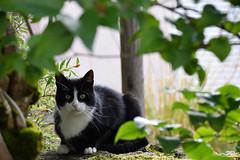 Plume (Croc'odile67) Tags: nikon d3300 sigma contemporary 18200dcoshsmc chat cat félin