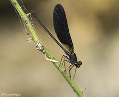 Calopteryx haemorrhoidalis (Fernando Delgado) Tags: odonata lepidópteros artrópodes libelinhas calopteryxhaemorrhoidalis fontedabenémola