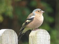 8 August 2019 Stourhead (1) (togetherthroughlife) Tags: 2019 august wiltshire stourhead nationaltrust bird finch