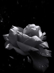 Rose petals with dew drops. Monochrome. (ALEKSANDR RYBAK) Tags: роза цветок лепестки роса капли утро лето сезон свет тень монохромный детали чёрное белое rose flower petals dew drops morning summer season shine shadow monochrome details black white