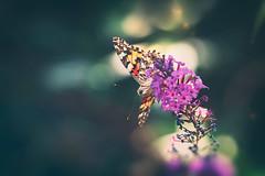 Peek a boo (Ans van de Sluis) Tags: 2019 ansvandesluis august bokehlicious botanic butterfly colours flora floral flower macro nature summer wings peekaboo