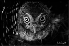 Angry One (aeneas____) Tags: wild cool artisticphotography art love macrophotography macro sweet bw blackandwhite wing birds owl nature