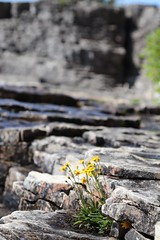 Wildflower grows on rocky coast (daveynin) Tags: fathomfive nationalpark brucepeninsula canada ontario wildflowers rockpillars seastack lake bay