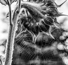 The Sunflower Trap (photofitzp) Tags: bw blackandwhite flowers intricate spider sunflower trap web