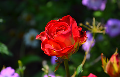 Red Rose. (denkuznets81) Tags: rose flower floral red garden green nature macro bloom beautiful blossom роза цветы цветок сад природа макро