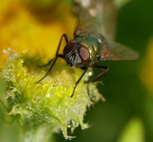 Greenbottle on a dewy flower