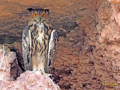 Búho real (Bubo bubo) (16) (eb3alfmiguel) Tags: nocturnas strigiformes strigidae familia búho real bubo rapaces aves