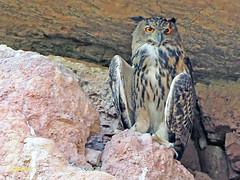 Búho real (Bubo bubo) (13) (eb3alfmiguel) Tags: nocturnas strigiformes strigidae familia búho real bubo rapaces aves