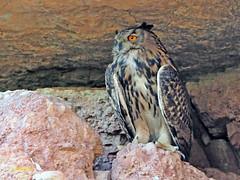 Búho real (Bubo bubo) (9) (eb3alfmiguel) Tags: nocturnas strigiformes strigidae familia búho real bubo rapaces aves