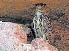 Búho real (Bubo bubo) (7) (eb3alfmiguel) Tags: nocturnas strigiformes strigidae familia búho real bubo rapaces aves