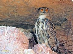 Búho real (Bubo bubo) (4) (eb3alfmiguel) Tags: nocturnas strigiformes strigidae familia búho real bubo rapaces aves