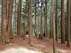 The haunted woods (walneylad) Tags: princesspark northvancouver britishcolumbia canada park parkland urbanpark woods woodland forest rainforest urbanforest trees trail stump log rock moss trunk bark branches green brown august summer view nature scenery haunted mysterious
