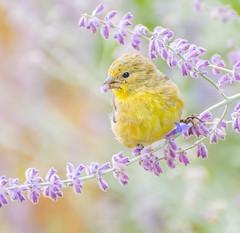 Bird Pop-Corn. (Omygodtom) Tags: art abstract portrait wildlife bokeh bird goldfinch golden flora flickr flickriver outside nikon70300mmvrlens d7100 colours usgs yellow