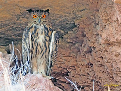 Búho real (Bubo bubo) (15) (eb3alfmiguel) Tags: nocturnas strigiformes strigidae familia búho real bubo rapaces aves