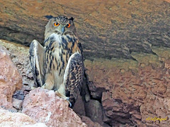 Búho real (Bubo bubo) (14) (eb3alfmiguel) Tags: nocturnas strigiformes strigidae familia búho real bubo rapaces aves