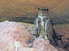 Búho real (Bubo bubo) (12) (eb3alfmiguel) Tags: nocturnas strigiformes strigidae familia búho real bubo rapaces aves