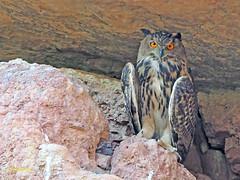 Búho real (Bubo bubo) (11) (eb3alfmiguel) Tags: nocturnas strigiformes strigidae familia búho real bubo rapaces aves