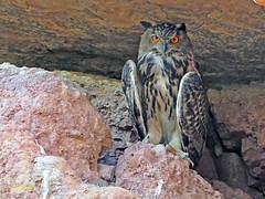 Búho real (Bubo bubo) (10) (eb3alfmiguel) Tags: nocturnas strigiformes strigidae familia búho real bubo rapaces aves