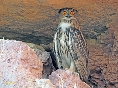 Búho real (Bubo bubo) (8) (eb3alfmiguel) Tags: nocturnas strigiformes strigidae familia búho real bubo rapaces aves
