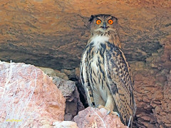 Búho real (Bubo bubo) (6) (eb3alfmiguel) Tags: nocturnas strigiformes strigidae familia búho real bubo rapaces aves