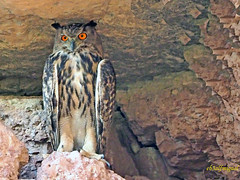 Búho real (Bubo bubo) (5) (eb3alfmiguel) Tags: nocturnas strigiformes strigidae familia búho real bubo rapaces aves