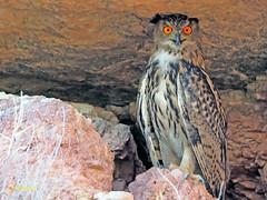 Búho real (Bubo bubo) (3) (eb3alfmiguel) Tags: nocturnas strigiformes strigidae familia búho real bubo rapaces aves