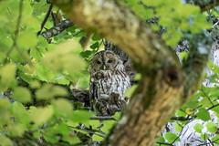 "Waldkauz Nyphenburger Park (""Baum 15"") / tawny owl / Strix aluco (Bernd Götz) Tags: nymphenburgerparkmünchen münchen eule strixaluco tawnyowl baum15"