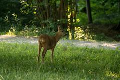 Reh morgens im Nymphenburger Park / roe deer (Bernd Götz) Tags: nymphenburgerparkmünchen münchen reh deer wild