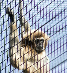 I wanna break free (Gill Stafford) Tags: gillstafford gillys image photograph wales welsh mountainzoo zoo colwynbay rhosonsea conwy monkey cage bars imprisoned prisoner