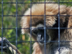 The Prisoner (Gill Stafford) Tags: gillstafford gillys image photograph wales welsh mountainzoo zoo colwynbay rhosonsea conwy monkey cage bars'improsoned prisoner